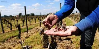 chambre d agriculture de gironde vignes gelées en gironde deux numéros d appel pour les sinistrés