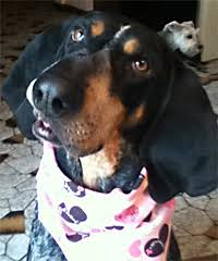 bluetick coonhound behavior long ears blog coonhound u0026 foxhound companions