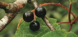 bird cherry trees for