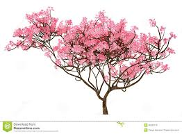 sakura tree isolated download from over 40 million high quality