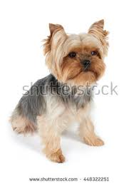 silky terrier with haircut adorable australian silky terrier sitting against stock photo