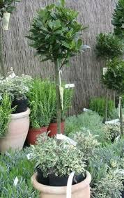 Laurel Topiary - bay laurel tree standard make sure you get an edible variety