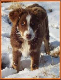 8 week australian shepherd ghost eye mini aussie avail litter 2 pup3 jessie red merlei male