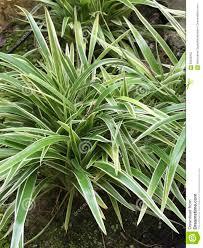 chlorophytum comosum or spider plant or ribbon plant stock photo