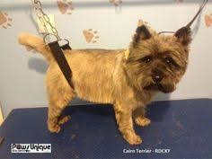 cairn hair cuts cairn terrier after grooming this is a great cut for or tiki