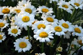 daisy flower types of daisies hgtv