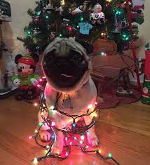 14 reasons why pugs dress your