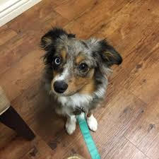 twin oaks 2 australian shepherd twin oaks animal hospital 17 photos u0026 28 reviews veterinarians