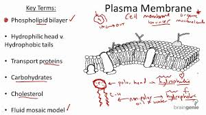 Cell Membrane Worksheet Molecular Structure Of Plasma Membrane Cell Membrane Simple