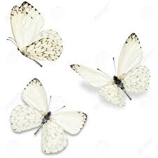 three white butterfly isolated on white background stock photo