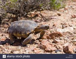 mojave desert tortoise gopherus agassizii in its natural habitat