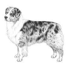 royal 8 australian shepherds articles dogwellnet com