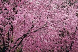 flowering plum tree facts home guides sf gate