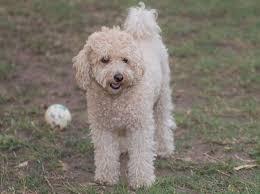 poodle y bichon frise fotos gratis blanco perrito perro mascota amigo caniche