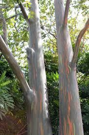 Rainbow Eucalyptus Rainbow Eucalyptus Zoo Miami