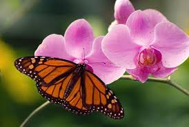 purplish pink dendrobium orchid flowers with butterfly jpg hi res