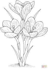 garden crocus coloring page supercoloring com cards digi