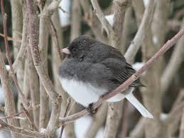 south burlington birds dark eyed junco photos south burlington