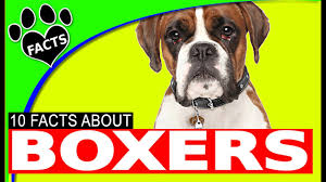 100 boxer dog boxer dogs 101 facts most popular german dog breeds animal facts