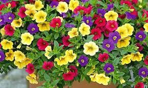 balkon und terrassenpflanzen 12x oder 24x zauberglöckchen petunie trixi petticoat balkon