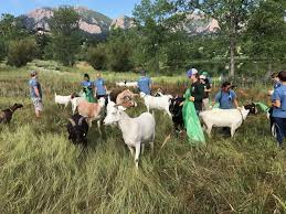 Boulder Craigslist Org Denver by Meet The Weed Grazing Goats Of Boulder On Aug 10