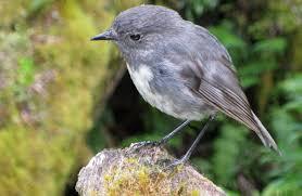 native plants of nz new zealand robin toutouwai land birds native animals