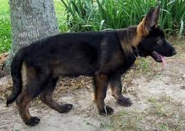 Light Sable German Shepherd Sables From Puppy To German Shepherd Dog Forums