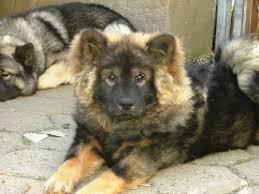 foo dog foo dog info temperament puppies pictures