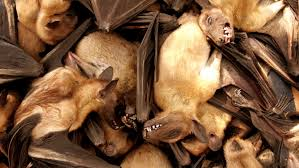 bats for sale health officials see fruit bats as a likely source of the most