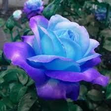 blue roses 50pcs blue pink flower seeds home garden plants ebay