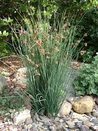 calif native plants juncus patens local native english garden pinterest drought
