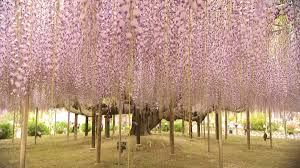 the world renowned wisteria paradise ashikaga flower park