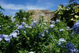 flowers picture of moorea tropical garden moorea tripadvisor
