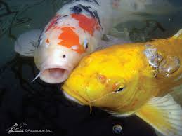 Is A Backyard Pond An Ecosystem Koi Industry At Risk How You Can Help Aquascape Inc