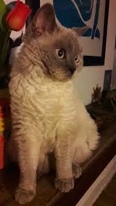 2286 best selkirk rex cat images on pinterest selkirk rex
