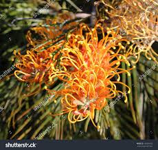 australian native plant species decorative west australian native wild flower stock photo