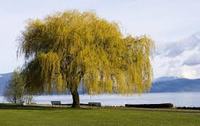 weeping willow tree diseases and the ways we can tackle them