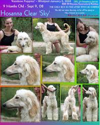 afghan hound puppies california afghan hound puppies home page akc registered afghan hound dog breeder