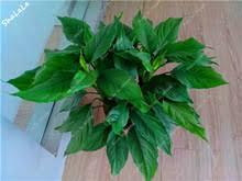 get cheap evergreen indoor plants aliexpress alibaba