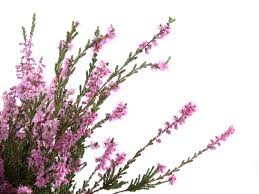 plants native to europe heather grower direct fresh cut flowers presents u2026