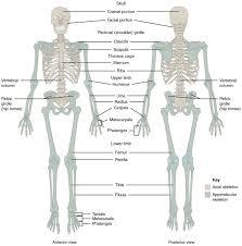 Anatomy Of Human Back Muscles Lower Back Muscles Layers Human Anatomy Chart