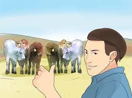how to raise cattle 10 steps with pictures wikihow