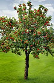 Apple Tree In My Backyard The Meaning And Symbolism Of The Word Apple Tree