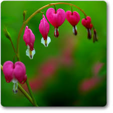 bleeding heart flower buy bleeding heart plant online at nursery live best plants at