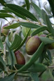 best 25 olive tree care ideas on indoor olive tree