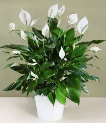 Indoor Plants That Don T Need Sun 25 Best Peace Lily Ideas On Pinterest Best Indoor Plants