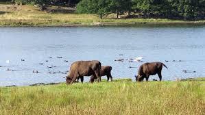 Arizona wild swimming images Wild bison herd in northern arizona stock footage video 17351017 jpg