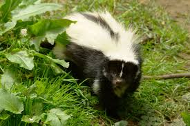 5 things homeowners can do to remove the smell of skunk from the house