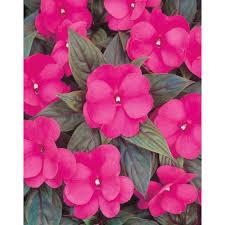 impatiens flowers proven winners infinity pink new guinea impatiens live