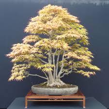 colorado acer palmatum u2013 japanese maple bonsai u2013 colorado rocky